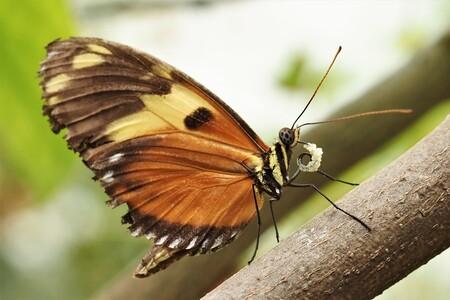 Jammie... - Ook vlinders genieten van het lekkers dat ze eten...... - foto door bernadette-willemsen op 11-04-2021 - locatie: 6732 Harskamp, Nederland - deze foto bevat: vlinder, pop, natuur, fragiel, rups, voorjaar, bruin, bestuiver, vlinder, insect, geleedpotigen, motten en vlinders, hout, takje, vleugel, ongewervelden