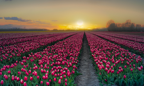 Zonsondergang bij de tulpen