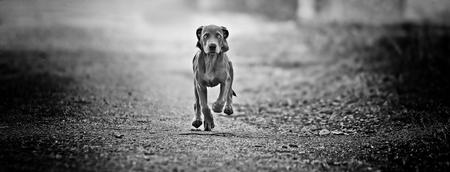 Pup Weimaraner - Weimaraner - foto door marijkebeekhuizen op 10-04-2021 - deze foto bevat: #hond#weimaraner, hond, carnivoor, hondenras, zwart en wit, grijs, stijl, fawn, metgezel hond, weg, weg oppervlak
