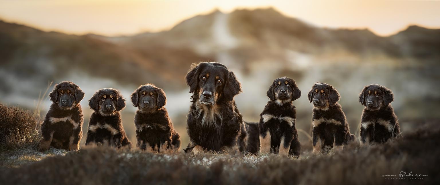 Nestje hovawart puppy's - Mama met haar kroost in een prachtig duingebied met zonsondergang, wat wil je nog meer? 🥰 - foto door foscofotografie op 20-04-2021 - locatie: Bergen, Nederland - deze foto bevat: schattig, puppy, pups, pup, puppy's, nestje, hovawart, hond, honden, dier, dieren, lief, tegenlicht, zonsondergang, strand, duinen, natuurlijk licht, bokeh, scherptediepte, canon, hondenfotografie, hondenfotograaf, portret, zoomlens, hond, hondenras, carnivoor, metgezel hond, snuit, canidae, sportieve groep, spaniël, lever, vacht