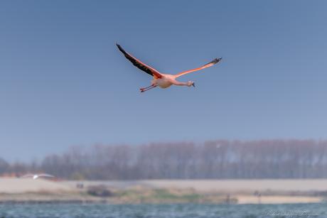 Flamingo op doorreis