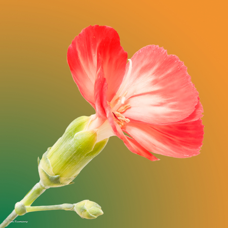 Fragile - De bewerkte foto, maar dan helemaal af. De vorige foto inmiddels verwijderd.  Jullie  mooie reacties op die en natuurlijk deze verbeterde versie mijn - foto door Jimbob op 15-04-2021 - deze foto bevat: focus stacking, bloempje, bloem, fabriek, bloemblaadje, terrestrische plant, bloeiende plant, kruidachtige plant, pedicel, bloesem, takje, detailopname