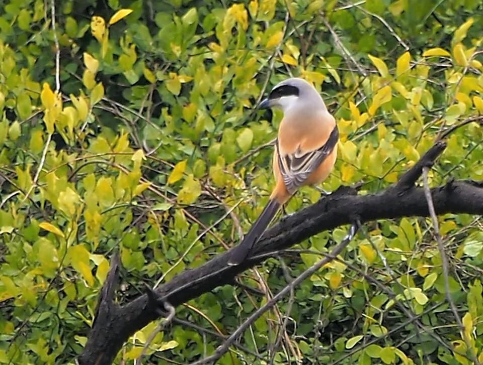 Mijn Reizen  - dit is een langstaart  Klauwier   . een prachtige vogel door zijn mooie tekening   , ja mensen  in India  kan je je hart ophalen met het zien van zov - foto door Stumpf op 17-04-2021 - locatie: India - deze foto bevat: vogel, fabriek, klauwier, takje, bek, boom, zangvogel, ceder waxwing, dieren in het wild, neerstekende vogel