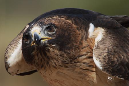Dreigende houding - Van deze roofvogel plaatste ik al eerder wat foto's , ik wilde deze opname ook nog graag met jullie delen. De dreigende houding van de vogel heb ik z - foto door jzfotografie op 16-04-2021 - deze foto bevat: roofvogel, houding, dreigend, pose, close up, uitsnede, scherpte, g ssm 70 - 400 mm, sony, blik, ogen, snave, verenkleed, kleuren, dof, vogel, oog, accipitridae, uil, valk, bek, falconiformes, veer, terrestrische dieren, vleugel