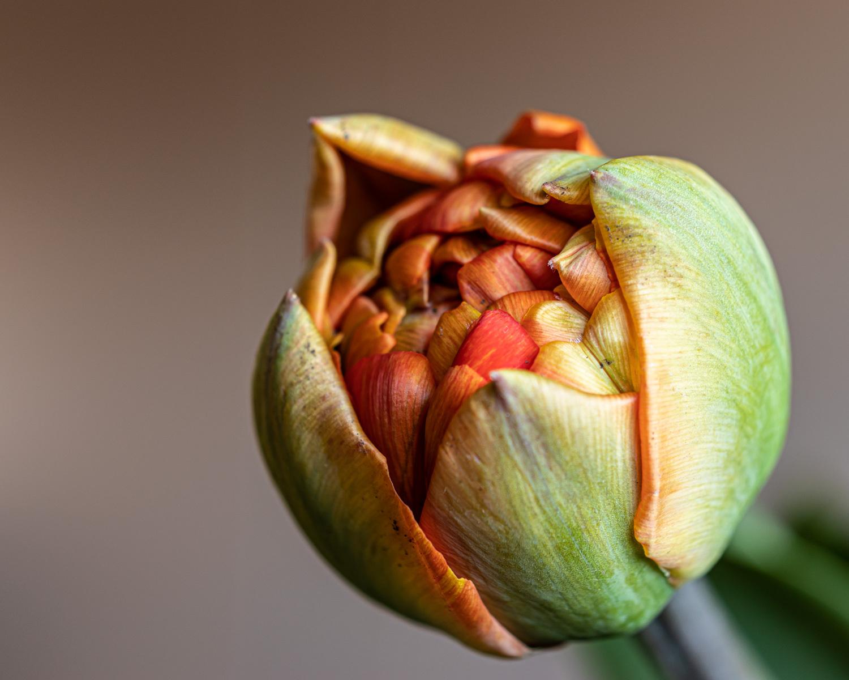 De tweede tulp - Deze tulp staat ook gefotografeerd op 2 tulpen - foto door irenas op 13-04-2021 - deze foto bevat: tulp, bloem, rood, groen, bloem, fabriek, bloemblaadje, terrestrische plant, bloeiende plant, kunst, bod, macrofotografie, vaste plant, plant stam