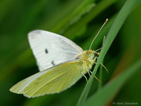Klein witje op grasspriet