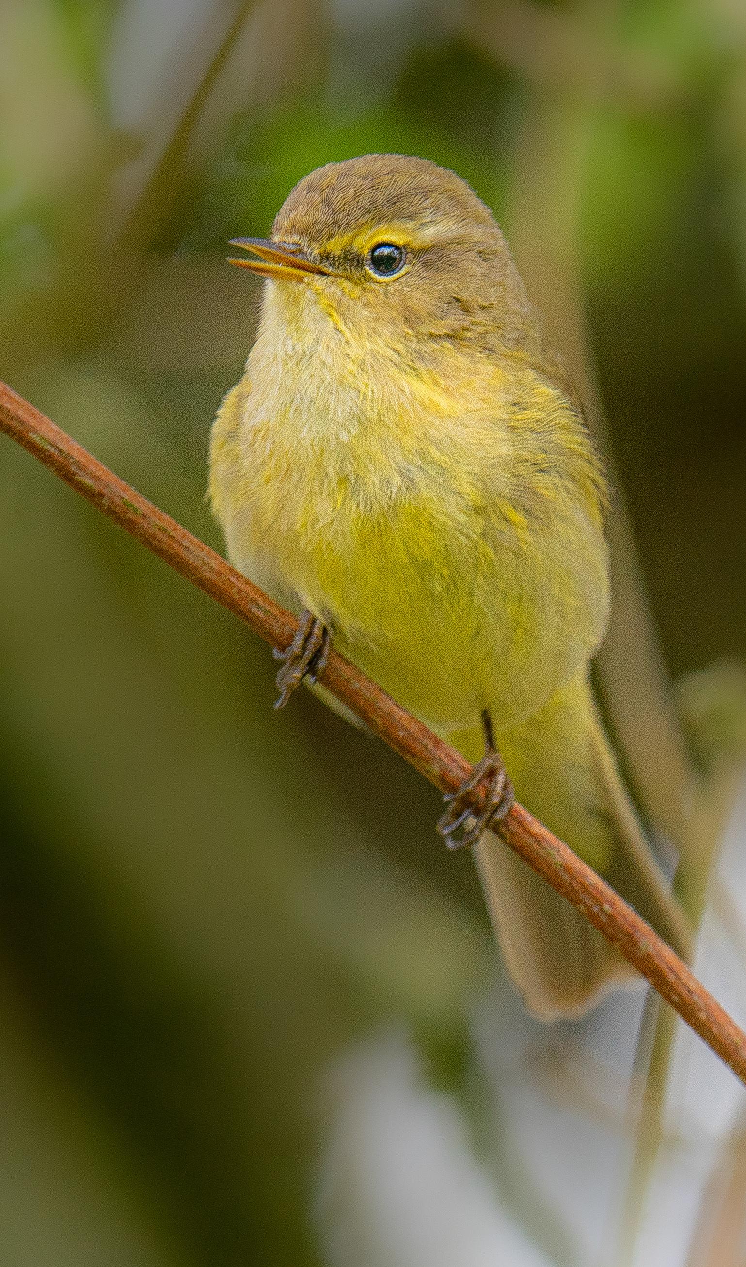 Tjiftjaf  - Prachtig was het om deze kleine en zingende tjiftjaf te zien en mogen vastleggen. Wat een bijzonder mooi vogeltje!  - foto door Alex-Maas1 op 07-04-2021 - locatie: 5702 Helmond, Nederland - deze foto bevat: vogel, vogels, natuur, portret, bokeh, tak, zingen, blad, nederland, brabant, geel, bruin, snavel, vogel, fabriek, bek, takje, veer, zangvogel, hout, detailopname, staart, neerstekende vogel