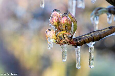 perenbloesem vol ijs - Grote ijspegels aan de bloesem om te voorkomen dat de bloesem bevriest. - foto door ingridvangulick op 13-04-2021 - deze foto bevat: macro, ijs, lente, vorst, natuur, bloesem, water, vloeistof, afdeling, takje, fabriek, ijskegel, vochtigheid, geleedpotigen, hout, plaag