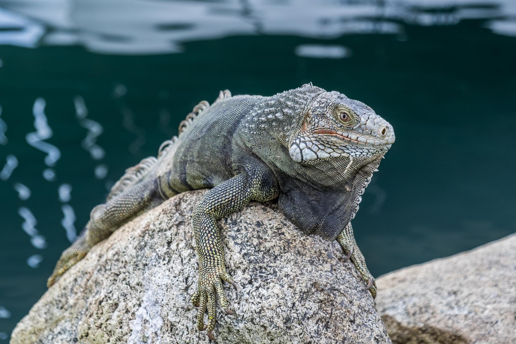 Vreemde wezens - Een leguaan warmt zich op een steen langs de waterkant - foto door w.herlaar op 08-04-2021 - locatie: Aruba - deze foto bevat: leguaan, dier, steen, water, gewervelde, leguaan, reptiel, hagedis, geschaald reptiel, terrestrische dieren, hout, leguaan, leguanen