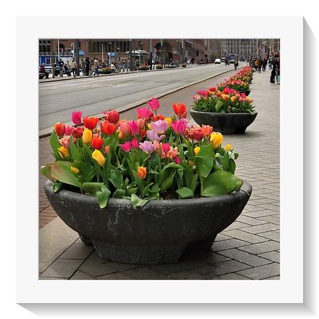 AMSTERDAM  - Tulpenstad .
