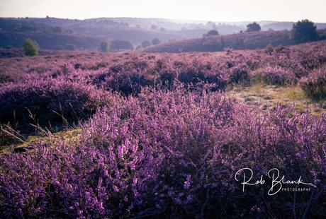 Heide in de vroege ochtend