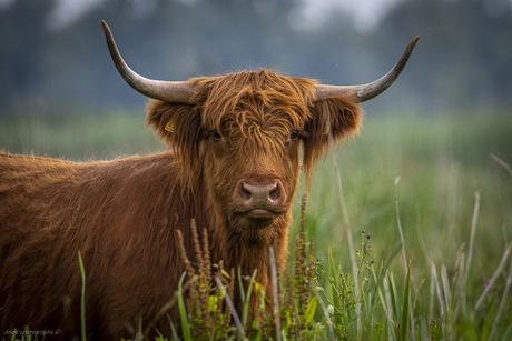 Schotse hooglander .