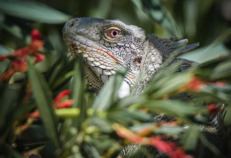 Leguaan - Prachtige Leguaan in de struiken . - foto door Dianavandenheuvel op 13-04-2021 - locatie: Kralendijk, Caribisch Nederland - deze foto bevat: oog, fabriek, reptiel, leguaan, natuur, plantkunde, hagedis, organisme, geschaald reptiel, gemeenschappelijke kameleon