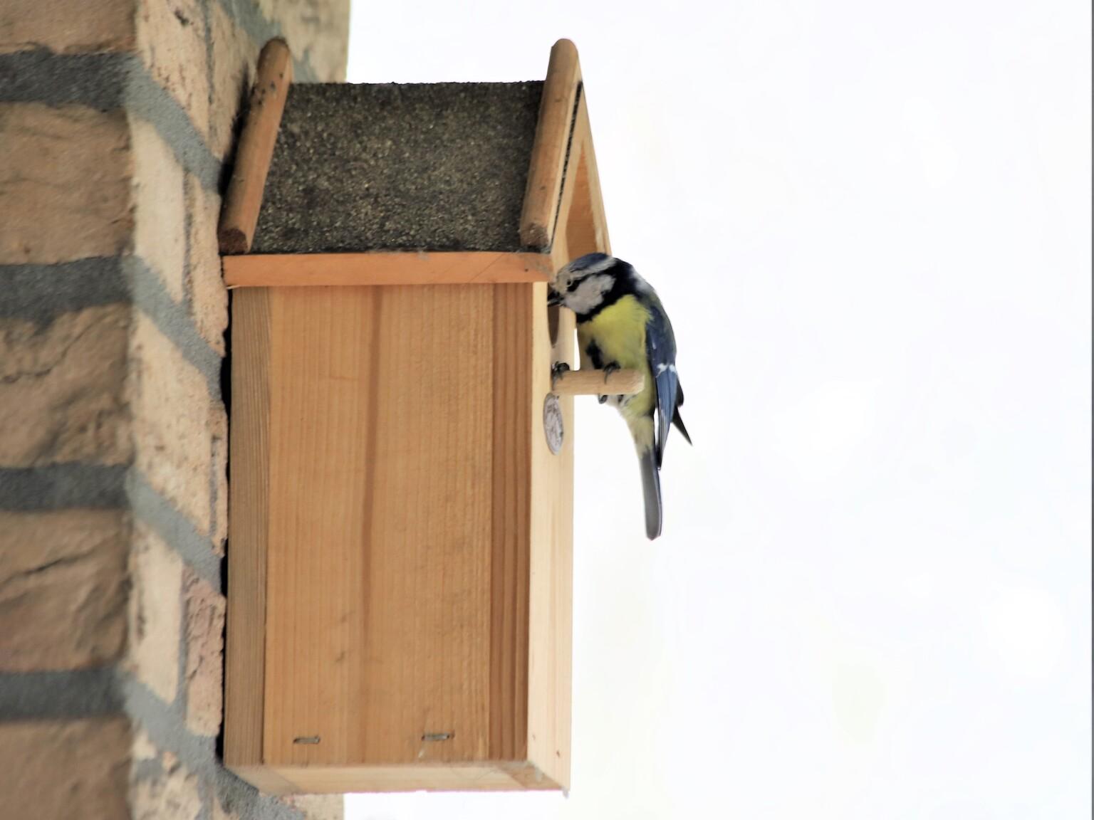 Hier ben ik! - Take-a-way service - foto door marsonna op 04-05-2021 - deze foto bevat: pimpelmees, nestkastje, bewoond, voedsel brengen, gorinchem, binnenstad, balkon, vogel, hout, huis, vogelhuisje, vogelhuisje, winter, neerstekende vogel, vogelaanvoer, facade, dierenbenodigdheden
