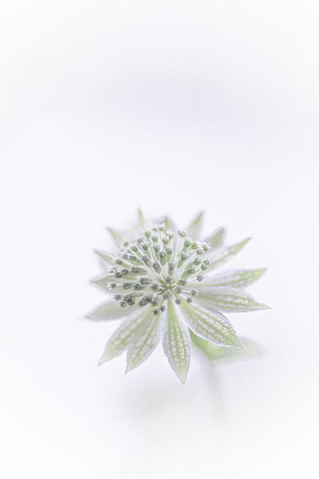 Astrantia in White