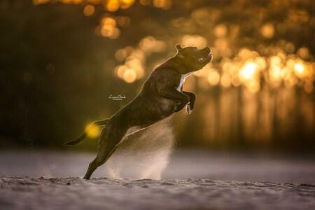 Softlight - How to capture a dog  - foto door lauraoonk op 05-05-2021 - locatie: Soesterduinen, 3768 Soest, Nederland - deze foto bevat: animal, dieren, jump, soft light, actie, water, flitsfotografie, gelukkig, gras, terrestrische dieren, mensen in de natuur, staart, amfibie, hout, duisternis