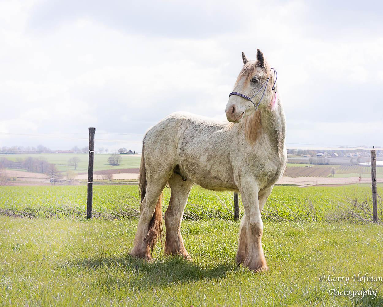mijn tweejarige Irish cob  - ik fotografeer heel graag paarden . Ik heb er zelf 4 , dus ze zijn vaak model . - foto door hofman-c op 14-04-2021 - deze foto bevat: paard, dier, ruin, lucht, wolk, paard, oog, werkend dier, natuurlijk landschap, zuring, fawn, grasland, gras