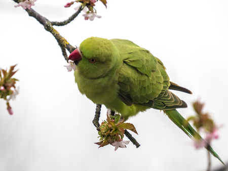 Halsband Parkiet - Snoepen van de nectar - foto door nvandij op 11-04-2021 - locatie: Voorschoten, Nederland - deze foto bevat: vogel, afdeling, takje, bek, organisme, papegaai, fabriek, veer, vleugel, natuurlijk materiaal