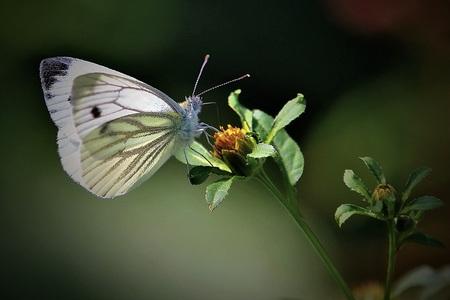 Geaderd witje - . - foto door Time---traveler op 13-04-2021 - deze foto bevat: bloem, bestuiver, insect, vlinder, geleedpotigen, fabriek, motten en vlinders, vleugel, macrofotografie, ongewervelden