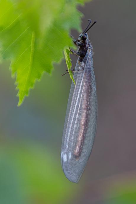 Mierenleeuw
