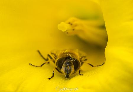 Blinde bij in een narcis - Blinde bij een narcis - foto door Goffefotografie op 10-04-2021 - locatie: Friesland, Nederland - deze foto bevat: bij, blinde bij, narcis, stuifmeel, geel, stinzenflora, stinzentuinen, lente, bloem, insect, fabriek, bloemblaadje, bestuiver, geleedpotigen, organisme, plaag, bloeiende plant, membraan-gevleugeld insect