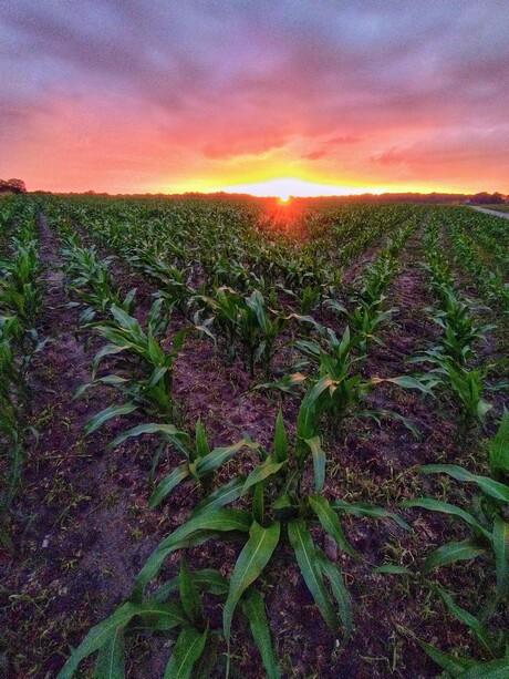 Zonsondergang maisveld