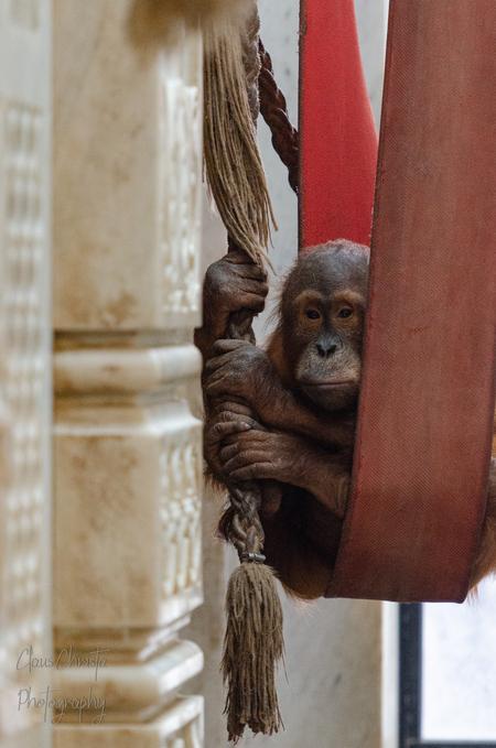 Klokkenluider  - Berani - foto door Christa66 op 11-04-2021 - deze foto bevat: dier, mensaap, orang-oetang, aap, berani, dierenpark, primaat, hout, rimpel, terrestrische dieren, snuit, lever, makaak, dieren in het wild, vacht, kunst