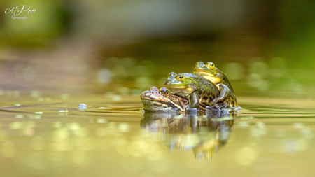 Met z'n drieën is het gezelliger - Groene kikkers - foto door ajpoot000 op 07-04-2021 - locatie: Drenthe, Nederland - deze foto bevat: water, vloeistof, watervoorraden, oog, vloeistof, echte kikker, waterloop, reptiel, natuurlijk landschap, amfibie