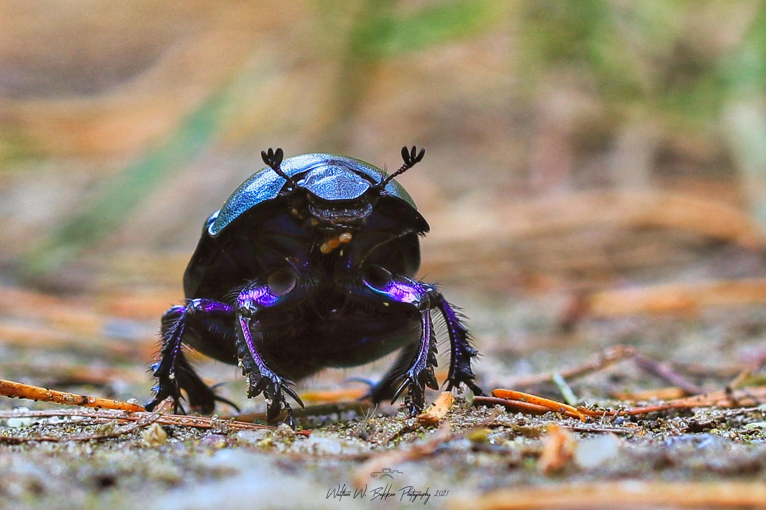 Mestkever - Leuke onderwerpen om te fotograferen. Ze zijn best wel snel, maar goed te doen met macro. En ze hebben prachtige kleuren wanneer de zon een beetje sc - foto door Waltherwb op 11-04-2021 - locatie: Veluwe, Nederland - deze foto bevat: #insecten, #mestkever, #macro, oog, geleedpotigen, insect, kever, terrestrische dieren, plaag, mestkever, brillen, decapoda, elektrisch blauw