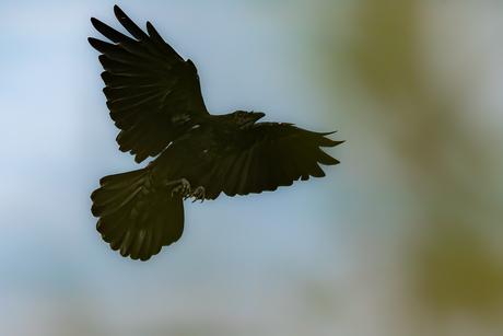 Zwarte Kraai in vlucht