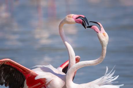 Verliefde flamingo's