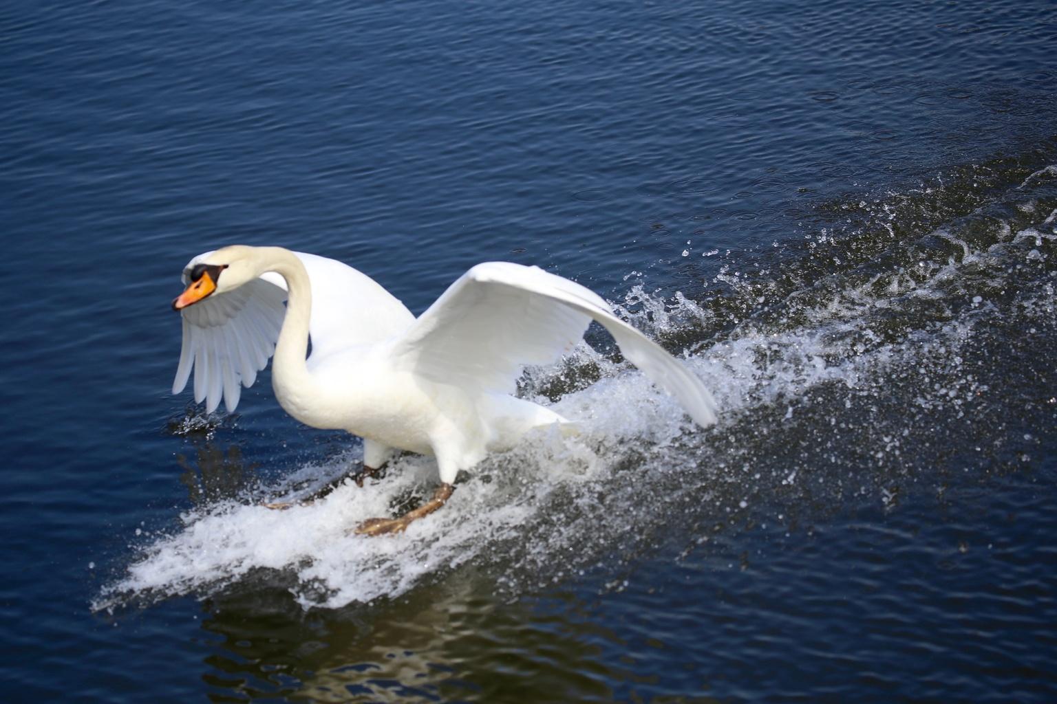 Zwaan - Waterskiend - foto door Ebben op 16-04-2021 - deze foto bevat: water, vogel, vloeistof, bek, vloeistof, meer, watervogels, veer, eenden, ganzen en zwanen, vleugel