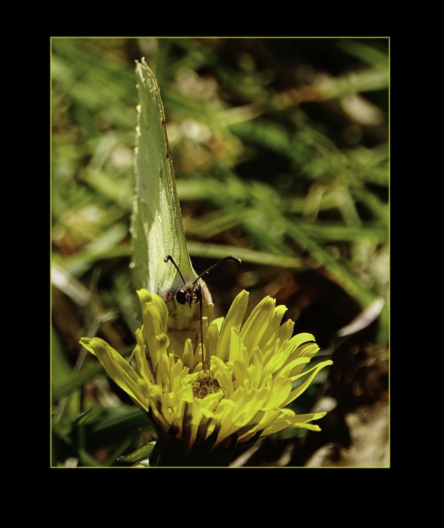 voor het eerst van m'n leven...................... - een vlinder op deze manier op de foto gekregen....  Toen ik op zoom kwam, jaren geleden, en ik niet zoveel om de natuur gaf, zag ik vlinderfoto's waa - foto door alizoom op 17-04-2021 - deze foto bevat: bloem, fabriek, bestuiver, insect, geleedpotigen, bloemblaadje, terrestrische plant, aanpassing, honingbij, plaag