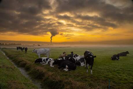 Cows at Sunset