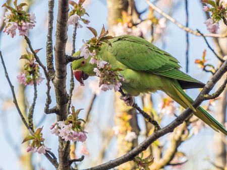 Parkiet - Nectar uit de kersenbloesem halen - foto door nvandij op 11-04-2021 - locatie: Voorschoten, Nederland - deze foto bevat: bloem, vogel, bek, afdeling, takje, veer, papegaai, vleugel, fabriek, boom