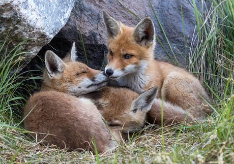 3 jonge vosjes