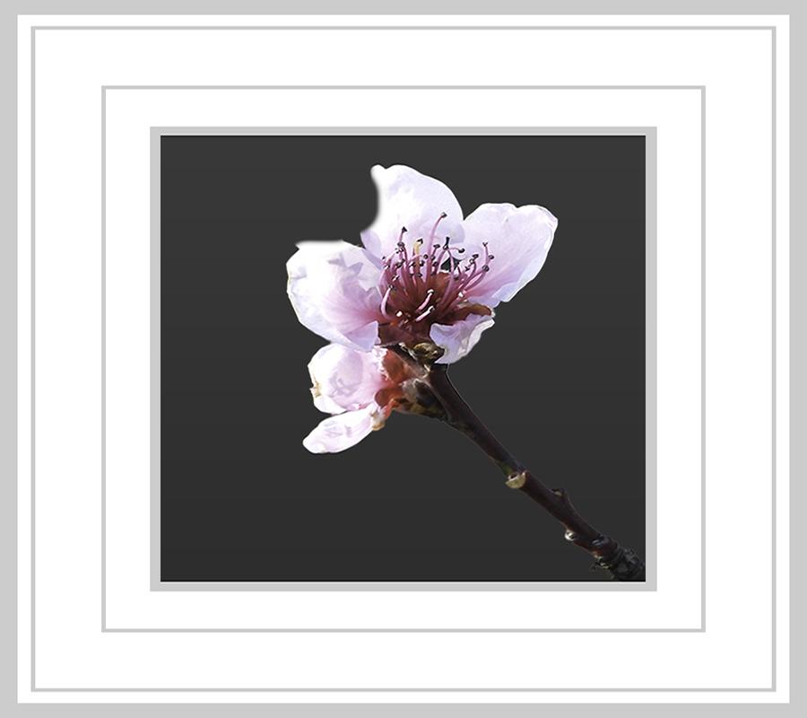 """Voorjaar 2021 - Dit is voorlopig mijn """"laatste foto"""", donderdag morgen moet ik binnen in het ziekenhuis en krijg ik twee kunstheupen ingepland. Eerst een week opname - foto door jos1953 op 04-05-2021 - locatie: Hasselt, België - deze foto bevat: bloem, fabriek, bloemblaadje, afdeling, takje, terrestrische plant, bloesem, kunst, bloeiende plant, magenta"""