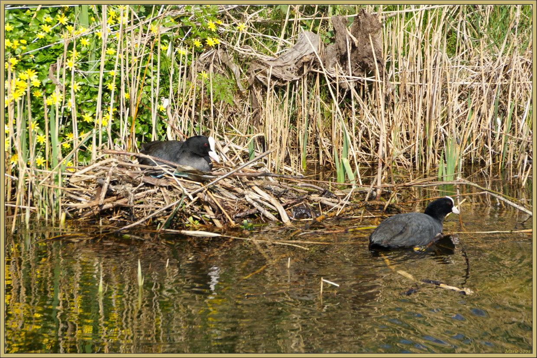 meerkoeten - Het is toch echt lente nu. - foto door Marie_zoom op 14-04-2021 - deze foto bevat: water, plant gemeenschap, vogel, gewervelde, fabriek, zoogdier, bek, gras, aanpassing, zoetwatermoeras