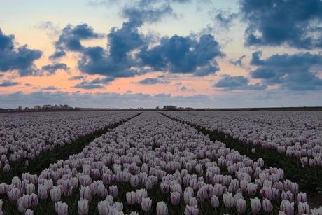 Tulpen met Hollandse lucht