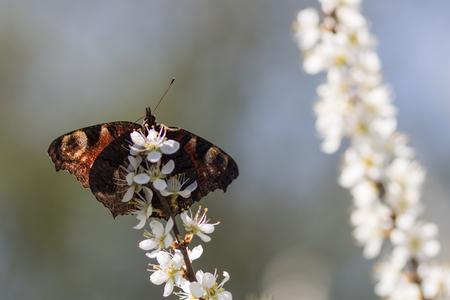 Dagpauwoog - De Dagpauwoog ziet er aan de bovenkant altijd zo mooi uit, maar de onderkant mag er ook wezen.  - foto door moonvangurp op 12-04-2021 - deze foto bevat: bloem, bestuiver, insect, fabriek, geleedpotigen, vlinder, motten en vlinders, bloemblaadje, plaag, bloeiende plant