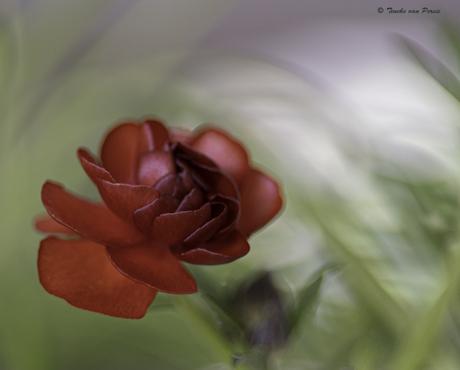 Ranonkel Butterfly Hades
