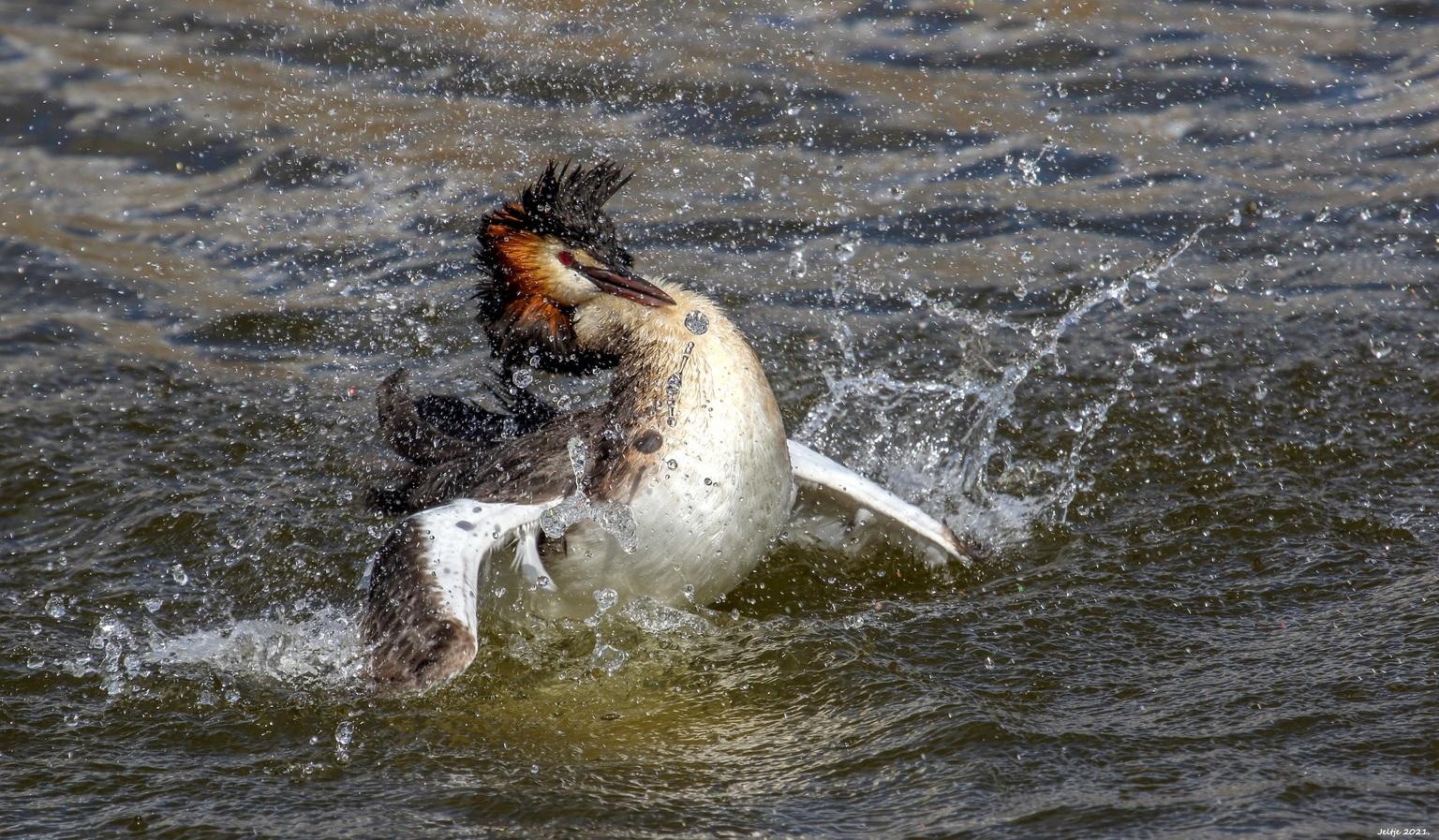 Fuut. - Fuut. - foto door ikjel op 12-04-2021 - deze foto bevat: water, vloeistof, bek, vogel, meer, carnivoor, eenden, ganzen en zwanen, vleugel, zeevogel, watervogels