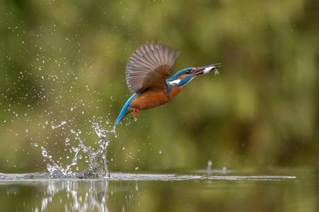 IJsvogel acrobaatje
