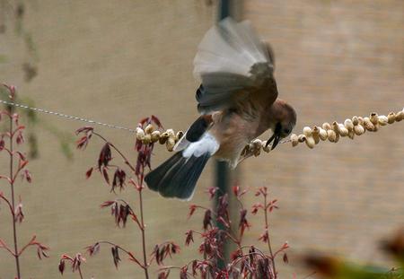 Vlaamse Gaai - Vlaamse gaai pikt een pindaatje mee. - foto door jan-damen op 16-04-2021 - locatie: Zundert, Nederland - deze foto bevat: vogel, bek, afdeling, takje, veer, fabriek, vleugel, bloem, hout, staart