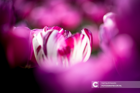 Tulpenveld met paars witte tulp