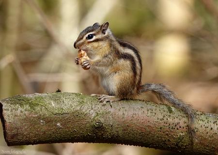 eekje. - Grond eekhoorn peuzeld lekker van een walnootje. - foto door nonoos op 14-04-2021 - deze foto bevat: eekhoorn, eekhoorns, eekhoornfotografie, fotografie, natuur, natuurfotografie, wild, wildfotografie, bos, bomen, boomstam, dieren, dierenfotografie, dier, nederland, grondeekhoorn, grondeekhoornfotogra, hoofd, organ mountains chipmunk, oosterse aardeekhoorn, fabriek, knaagdier, eekhoorn, eekhoorn, bakkebaarden, terrestrische dieren, fawn
