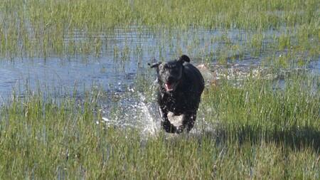 Labrador  - Waterrennen - foto door RuudvandenElsen1961 op 15-04-2021 - locatie: Nuenen, Nederland - deze foto bevat: water, hond, fabriek, werkend dier, carnivoor, natuurlijk landschap, gras, meer, hondenras, grasland