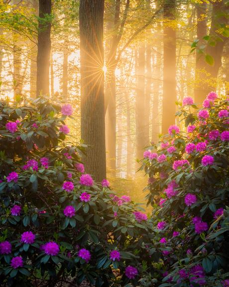 De Rododendrons staan in bloei.