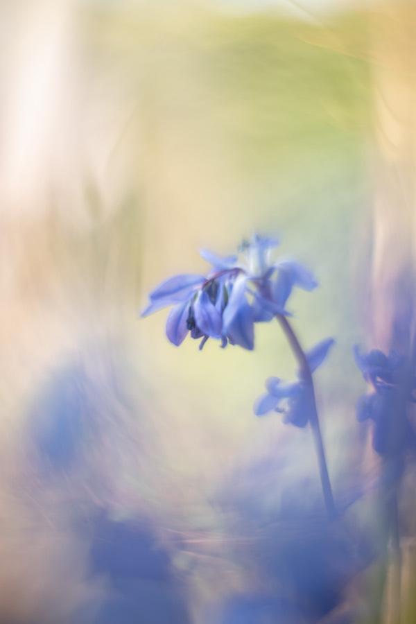 And the world turns blue - Scilla in de tuin. Met analoge lens gemaakt. - foto door tineke1 op 15-04-2021 - deze foto bevat: bloem, fabriek, bloemblaadje, kruidachtige plant, gras, tinten en schakeringen, elektrisch blauw, bloeiende plant, mensen in de natuur, macrofotografie