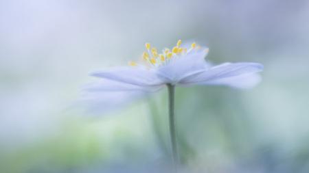 Anemone - Nog een uit de serie anemoontjes. Ze blijven zo prachtig! - foto door tineke1 op 13-04-2021 - locatie: 7957 De Wijk, Nederland - deze foto bevat: bloem, fabriek, bloemblaadje, kruidachtige plant, gras, pedicel, stuifmeel, daisy familie, eenjarige plant, macrofotografie